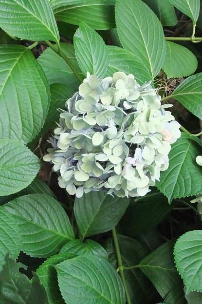 ドライフラワーになった紫陽花の花