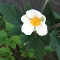 シュウメイギクの花 2