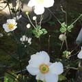 Photos: シュウメイギクの花が満開に