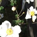 Photos: シュウメイギクの花が満開 2