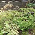 Photos: 台風19号の被害は楓の枝が折れる