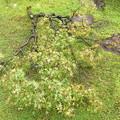 Photos: 台風19号の被害は楓の枝が折れる  2