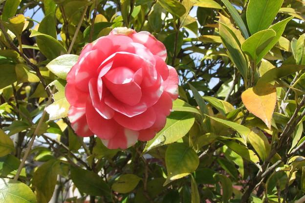 椿の花が開花 1