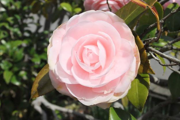 椿の花が開花  2