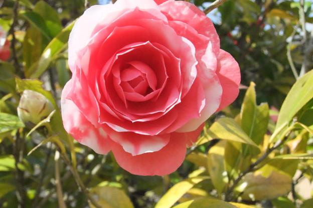 椿の花が開花  3