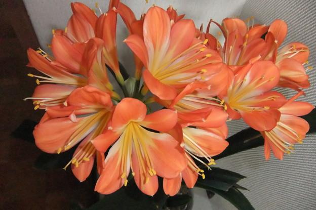 君子蘭の花が満開に 1