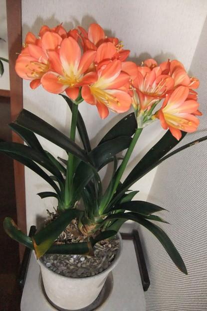 君子蘭の花が満開に 2