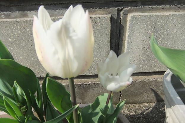 白いチューリップ  2