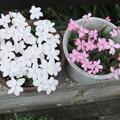 アッツ桜の花が満開に