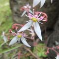 ユキノシタの花 1