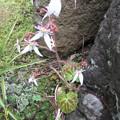 ユキノシタの花 2