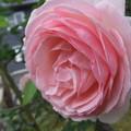 ピエール・ドゥ・ロンサールのツル薔薇