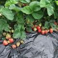 家庭菜園の苺