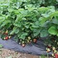 家庭菜園の苺  2