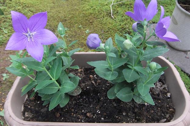 Photos: 桔梗の花 2
