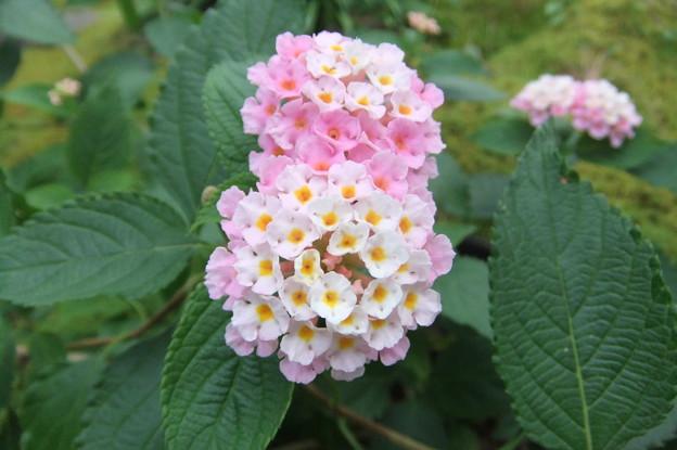 Photos: 鉢植えのランタナの花