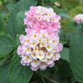 鉢植えのランタナの花