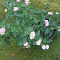 鉢植えのランタナの花 2