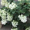 Photos: 柏葉紫陽花の花