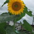 家庭菜園に咲いている向日葵