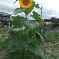 家庭菜園に咲いている向日葵、高さが180センチ位あります