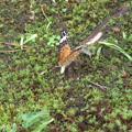 ツマクロヒョウモン蝶が庭に