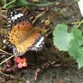ツマクロヒョウもん蝶が庭に 3