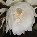 Photos: 月下美人の花の二番花 2