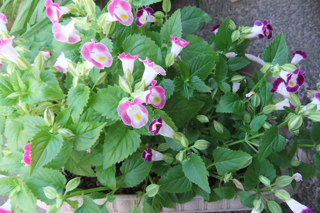 Photos: トレニアの花