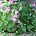 トレニアの花