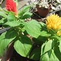 Photos: 鶏頭の花