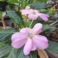 インパチェンスの花