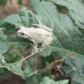 Photos: 白い蛙