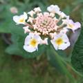 Photos: ランタナの花 2