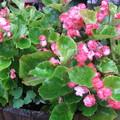 八重ベコニアの花