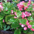 Photos: 八重ベコニアの花