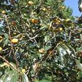主人の実家にある柿の木