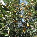 主人の実家にある柿の木 2