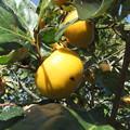 主人の実家にある柿の木 3