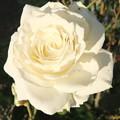 家庭菜園の薔薇の花
