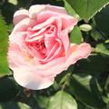 家庭菜園の薔薇の花 2