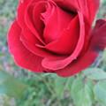 家庭菜園の薔薇の花 3