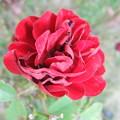 家庭菜園の薔薇の花 4