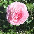 家庭菜園のバラの花