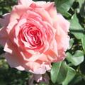 家庭菜園のバラの花 2