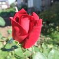 家庭菜園のバラの花 3