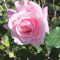 家庭菜園のバラの花 4