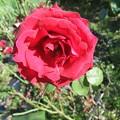 家庭菜園のバラの花 5