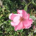 家庭菜園のバラの花 6