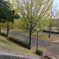 郊外の体育館の銀杏の木